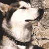 Koiran kaulapanta